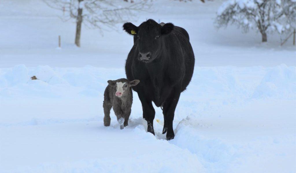 Ko med nyfödd kalv