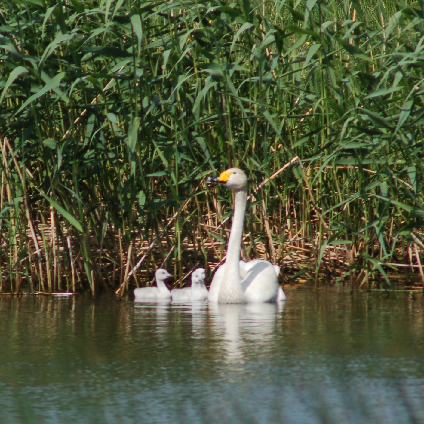 Fågelskydd april-juni